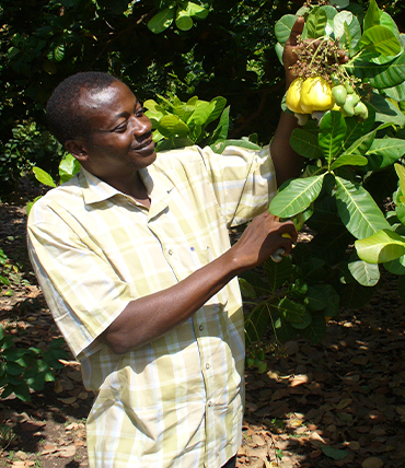 Cashew Farmer with cashew apple