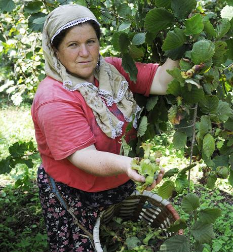 Farmer harvesting hazelnuts in Turkey